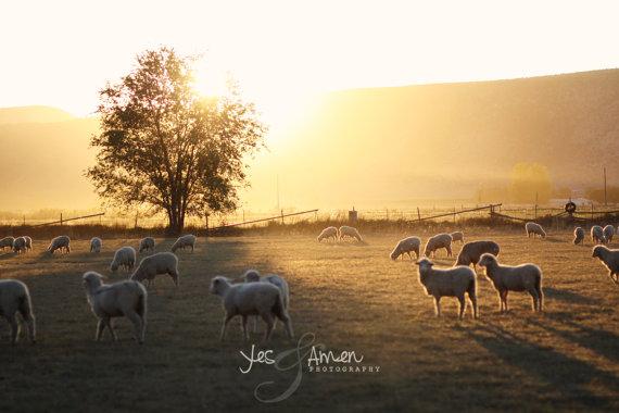 Junelle's Lambs