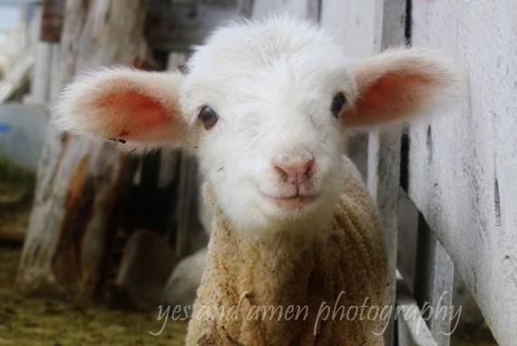 Junelle's Lamb